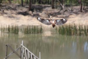 Kookaburra-without-tail-in-flight