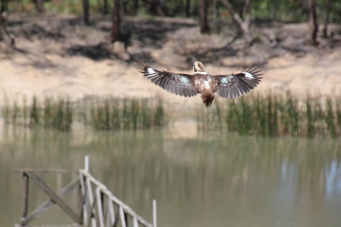Kookaburra-without-tail-in-flight