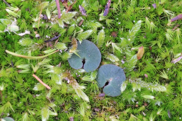 two-terrestrial-orchid-leaves-on-moss-covered-ground
