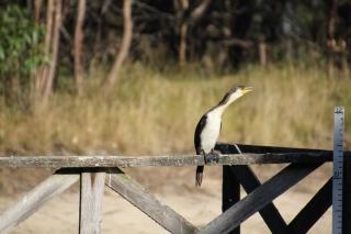 pied-cormorant-sitting-on-jetty