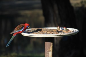 Red-browed-Finches-eating-seed-on-bird-feeder