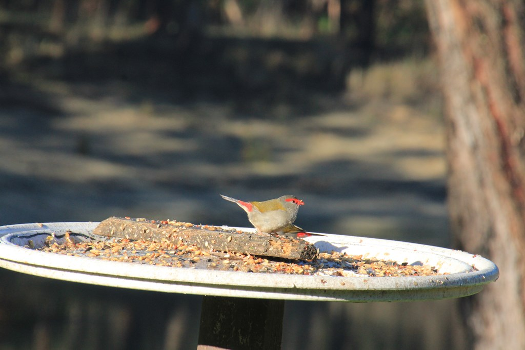 Red-Browed-Finches-in-full-sun-eating-seed
