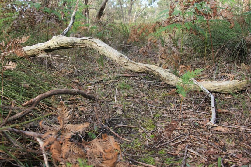 forest-floor-showing-fallen-branch-and-native-grasses