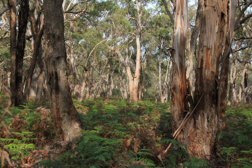 regrowth-bushland-showing eucalypt-trunks-and-bracken