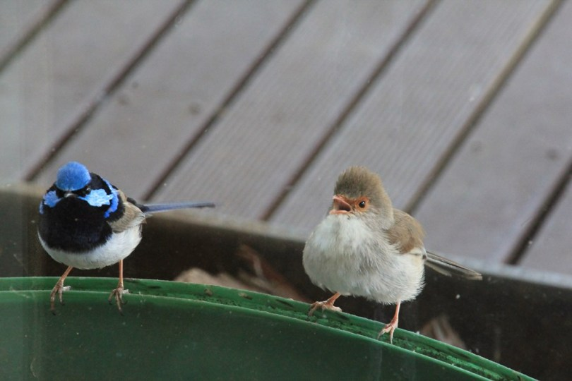 Superb-Fairy-Wren-fights-her-reflection