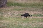 Straw-Necked-ibis-against-dry-grass