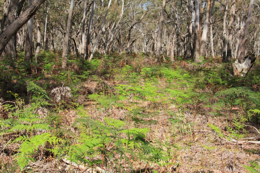 bushland-scene-withscrubby-trees-and-brracken