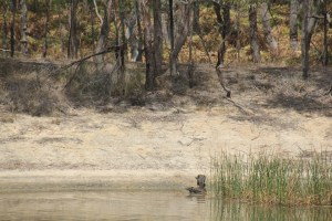 Swamp-Wallaby-in-dam-water-with-second-Wallaby-watching-from-shore