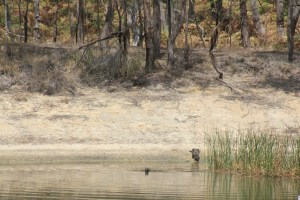 Swamp-Wallaby-swimming-in-dam