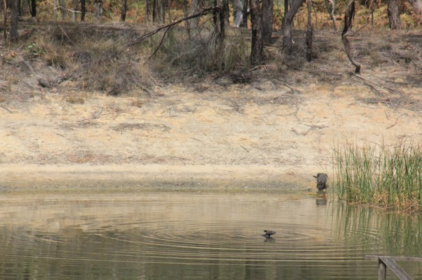 Swamp-Wallaby-in-dam-with-head-above-water