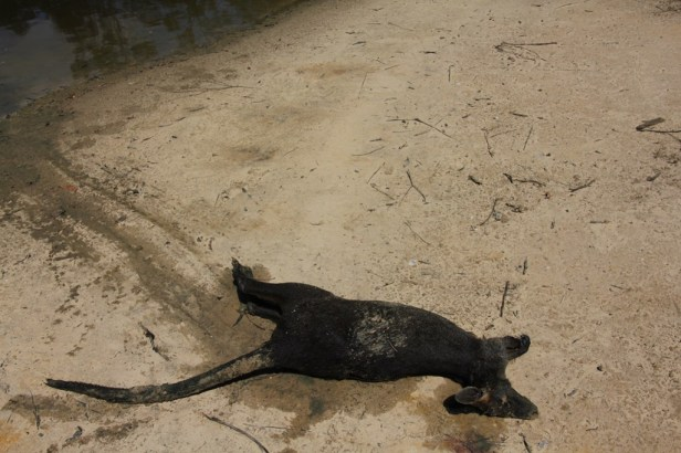 Drowned-Swamp-Wallaby-on-shore-of-dam