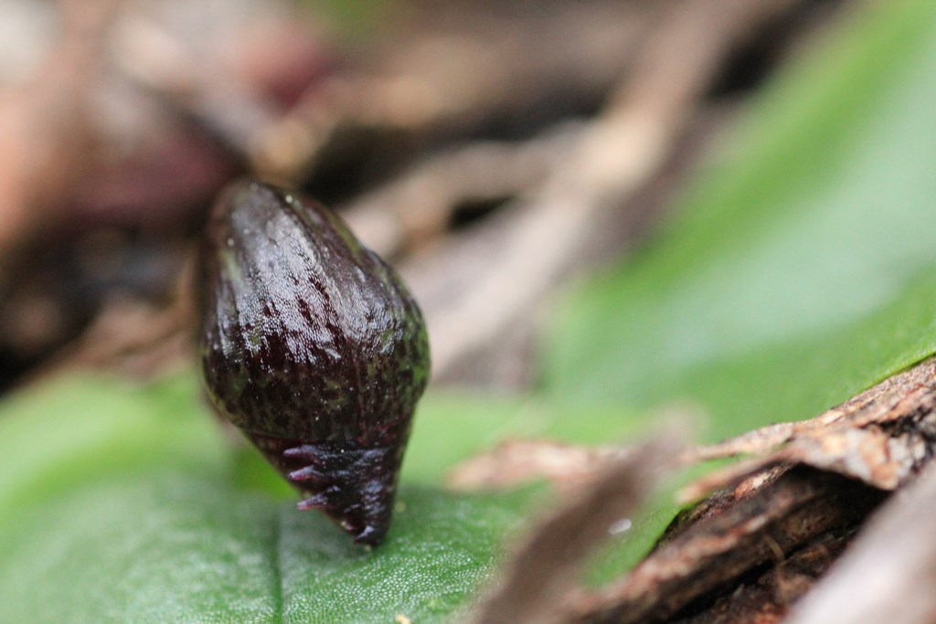helmet-orchid-bud-sowing-purple-toothed-edge