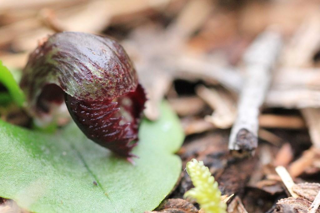 opening-helmet-orchid-flower