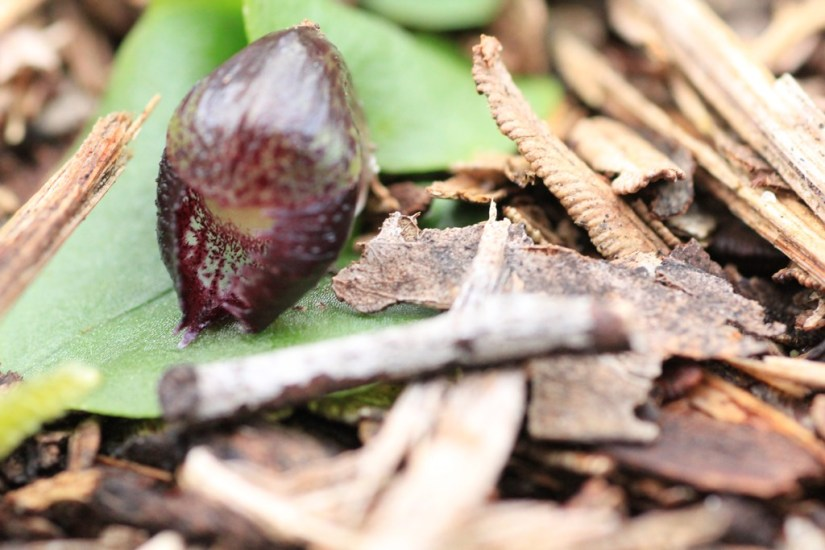 open-helmet-orchid-flower-showing-transparent-membrane