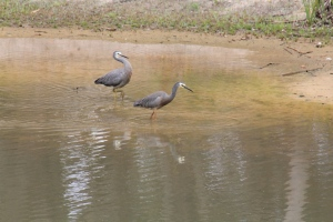 pair-of-white-faced-heron-wading-in-dam