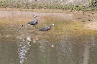 pair-of-white-faced-heron-wading-in-dam
