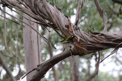 White-Eared-Honeyeater-ontwisted-bark-branch