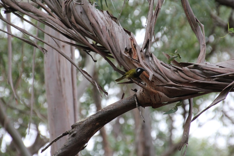 White-Eared-Honeyeater-ontwisted-bark-branch
