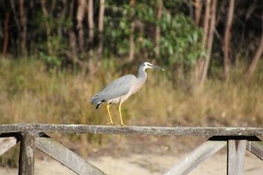 White-Faced-Heron