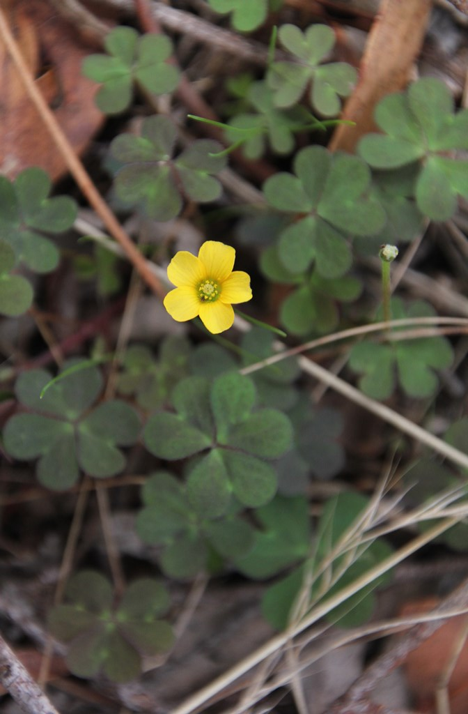 yellow-flower-shown-from-above-withleaves-and-soil