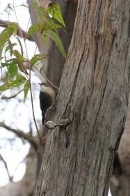 White-throated-treecreper-on-tree-trunk