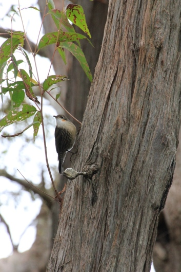 White-throated-treecreper-on-tree-trunk