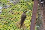 Yellow-faced-honeyeater-on cat-netting