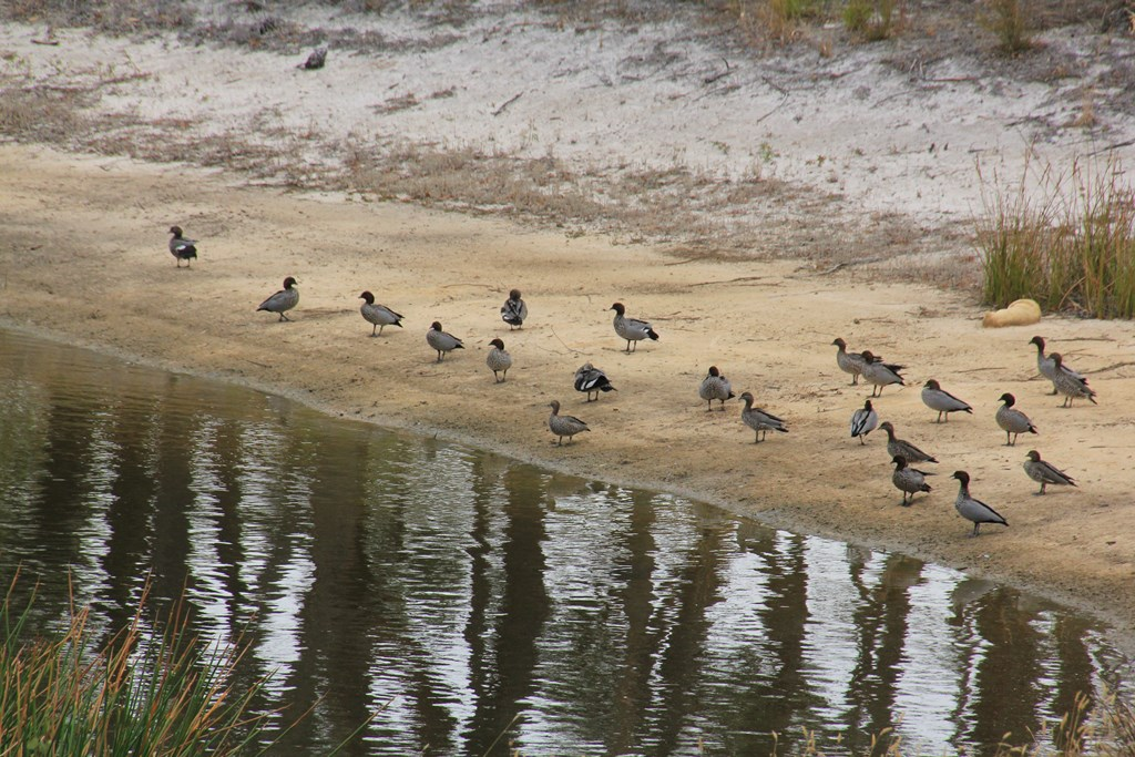 A-flock-of-Australian-Wood-Duck-on-a sandy-dam-bank