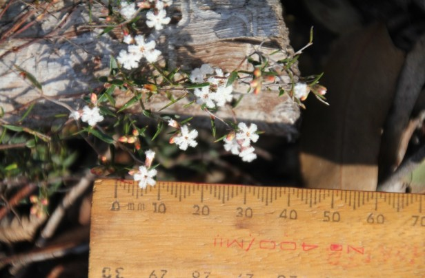 Ruler-against-beard-heath-flowers-showing-small-size