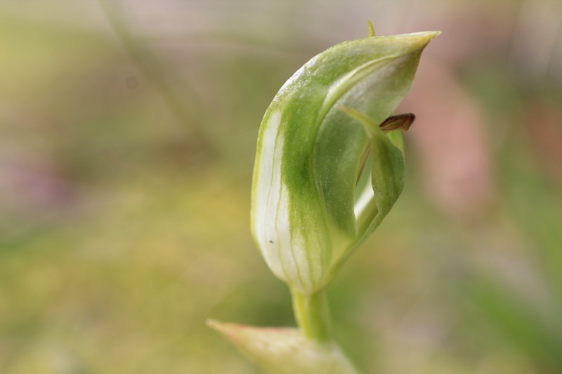 blunt-greenhood-shown-from-side-with-protruding-labellum