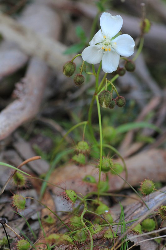 poppy-like-climbing-sundew-buds