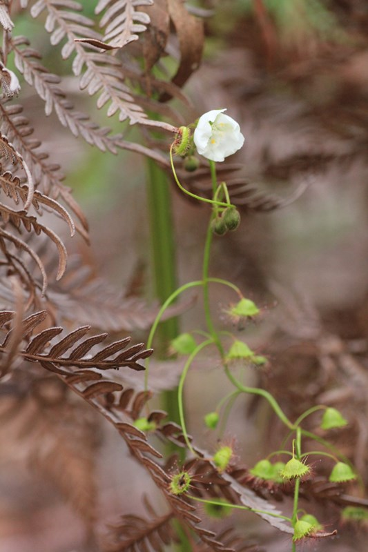 Climbing-sundew-on-bracken