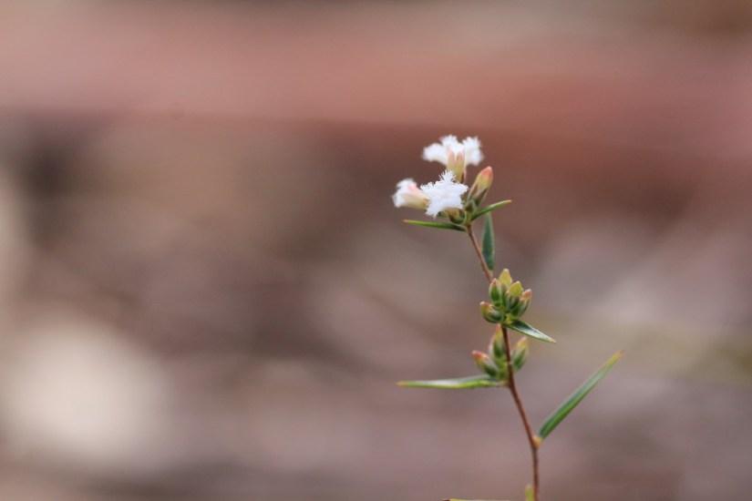 Common-Beard-heath-showing-leaf-bud-and-flower