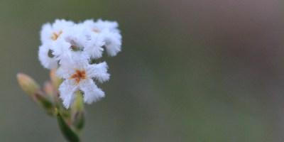 Common-Beard-Heath-macro-showing-flower-close-up