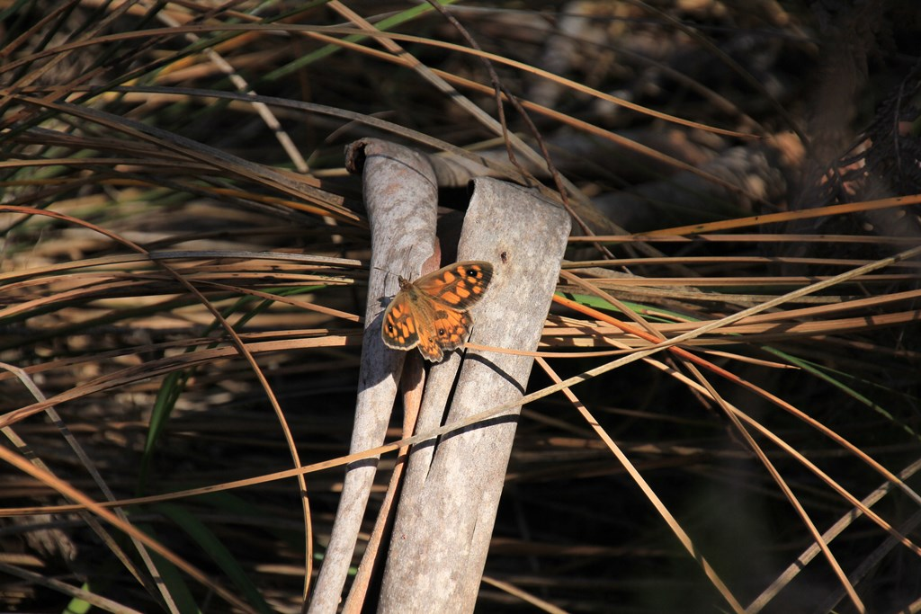 Marbled-Xenica-butterfly-on-cross-of-bark-and-dried-grass