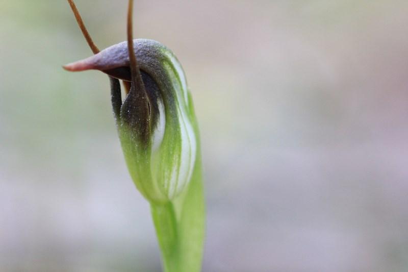 marooonhood-australian-terrestrial-orchid=close-up