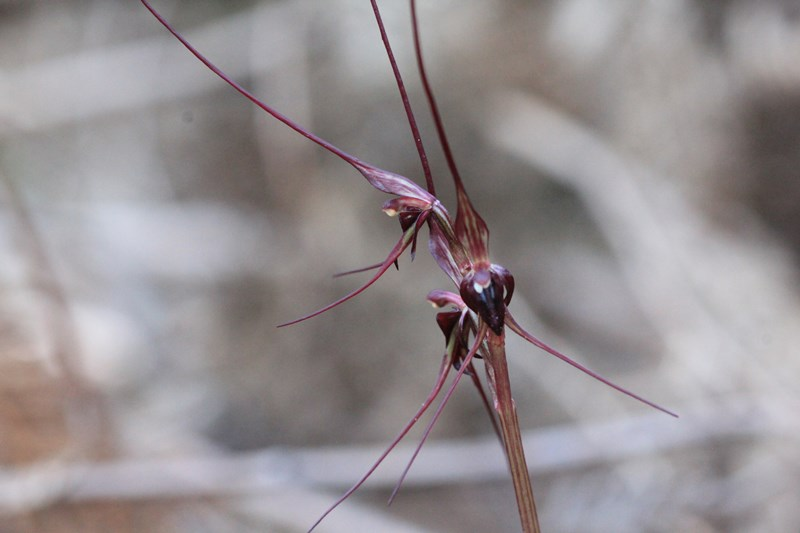 mayfly-orchid-showing-purple-long-wiry-sepals
