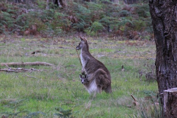 female-eastern-grey-kangaroo-with-joey-in-pouch