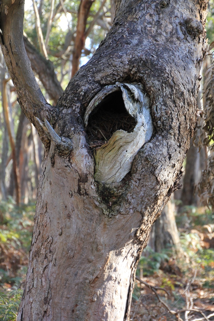 nesting-hollow-in-tree