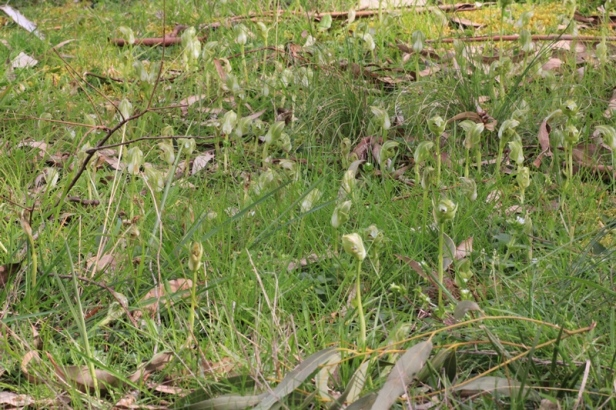 grass-with-colony-of-blunt-greenhood-orchids-growing-wild
