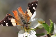 macro-photo-yellow-admiral-butterfly-with-damaged-wings-on-white-plum-blossom