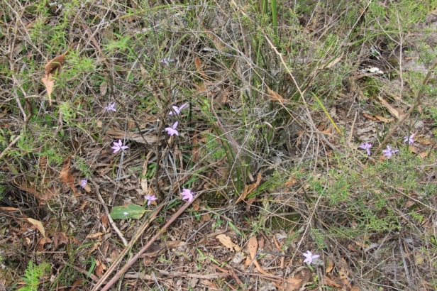 bush-floor-covered-with native-plants-including-purple-waxlip-orchids