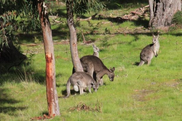 group-of -five-Eastern-Grey-Kangaroos-grazing -on-lush-green-grass