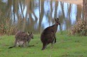 adult-male-and-female-eastern-grey-kangaroos-eating-grass