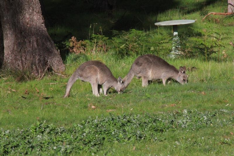two-young-kangaroos-eating-lush-green-grass
