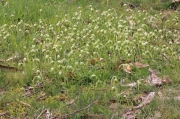 green-grass-covered-with-nodding-greenhood-orchids-growing-wild