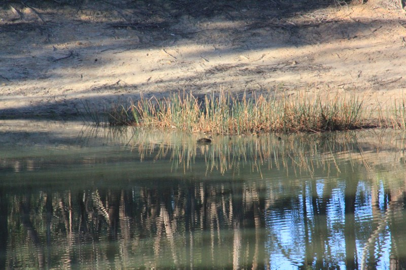 Pacific-black-duck-and-ducklings-swimming-on-dam-with-reflection-of-trees-on-water