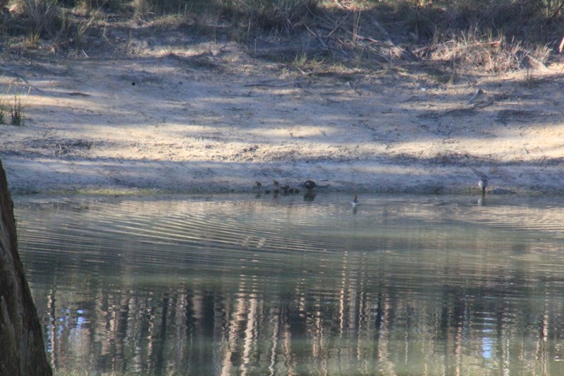 pacific-black-ducks-surrounded-by-Australian-wood-ducks-retreat-from-the-dam-ater-