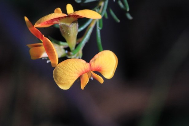 yellow-and-red-australian-native-pea-flower