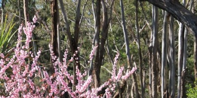 pink-ornamental-plum-tree-blossom-with-australian-native-trees-inbackground